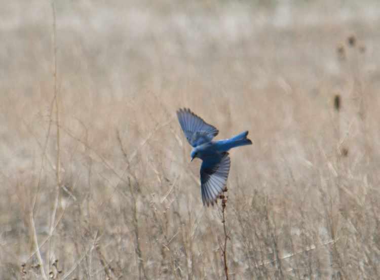 Mountain bluebirds-09