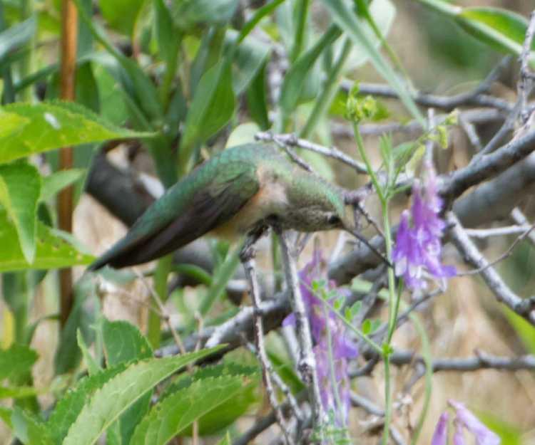 broadtailed hummingbird 3