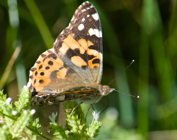 Painted Lady migration-5_edited-1