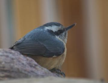 female red-breased nuthatch