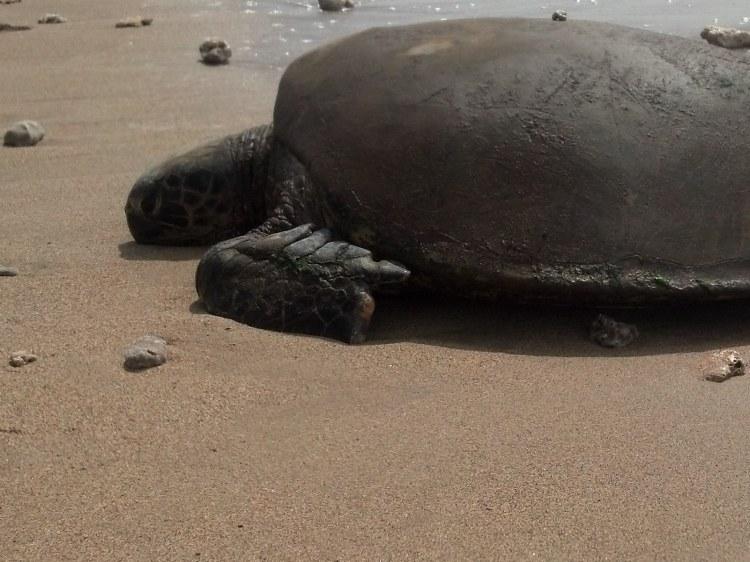 green sea turtle-3_edited-1
