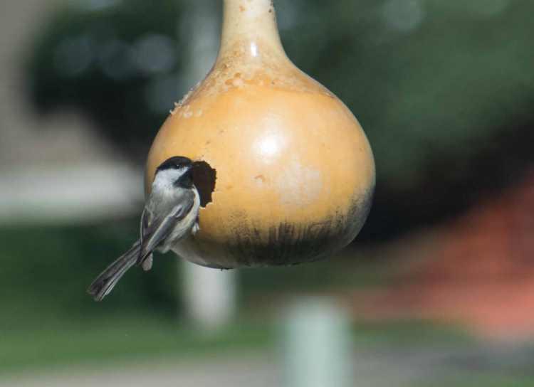 black-capped chickadee-3