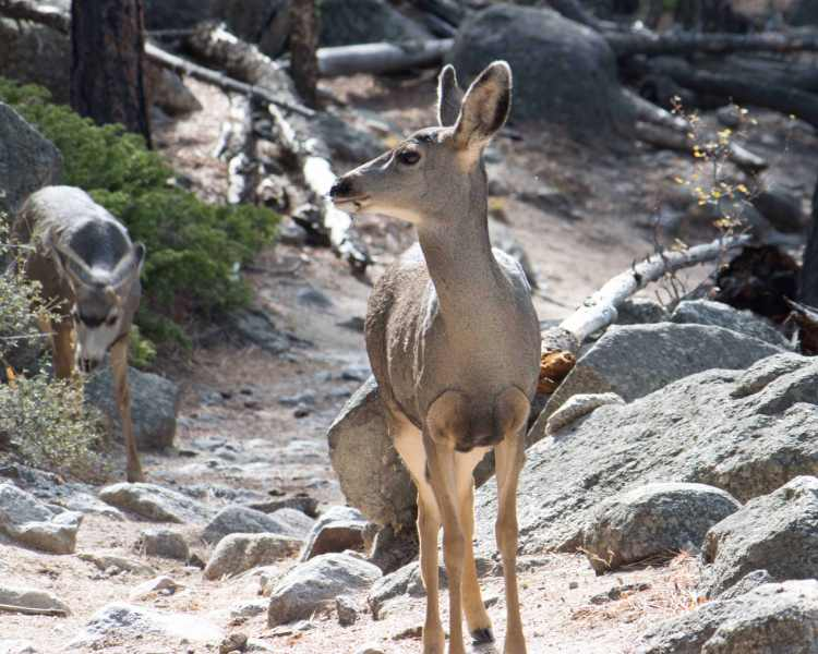 mule-deer-ypsilon-trail-05_edited-1