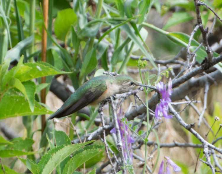 broadtailed hummingbird 6