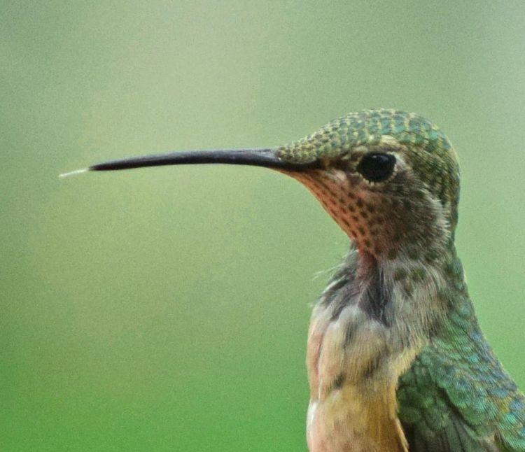 Male calliope hummingbirds have dark collars.