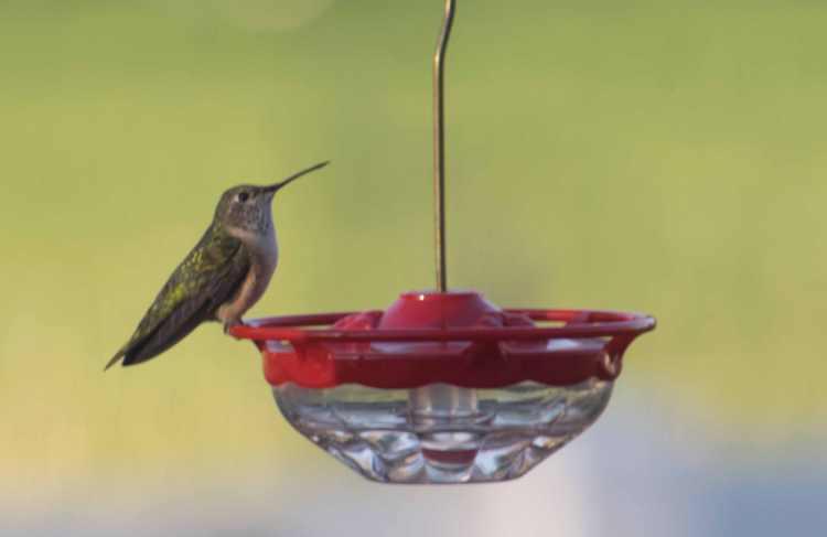 female Broadtailed Hummingbird-1.jpg