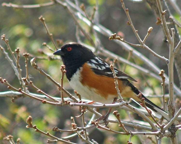 Spotted towhee in Gambel oak-07_edited-1