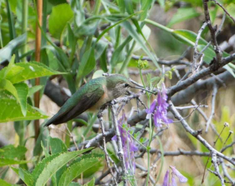broadtailed hummingbird 5