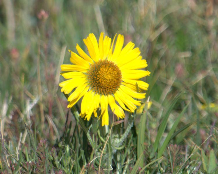 Goldflower (3)