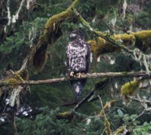 Juvenile bald eagle.