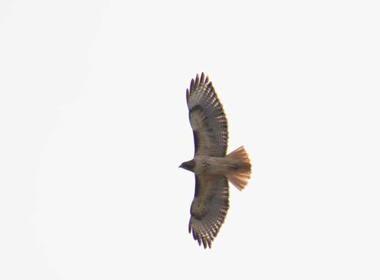red-tailed hawk-5