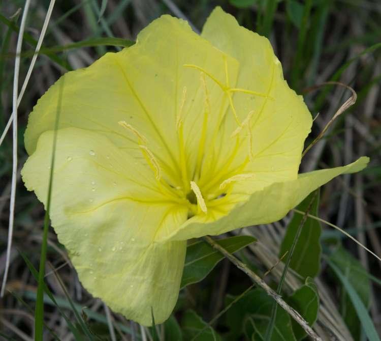 yellow stemless evening primrose