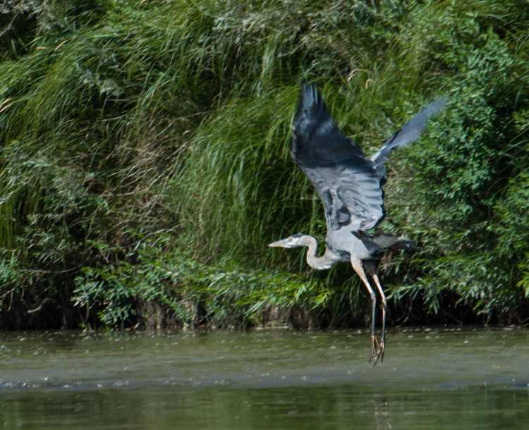 Great blue heron (1)