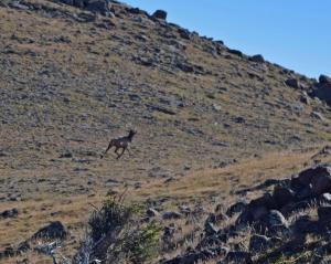 Elk trotting between walls of ancient game drive.