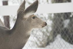 Backyard deer in snow-07-1
