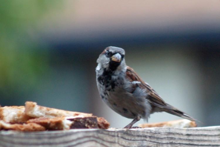 Male Sparrow_edited-1-copy