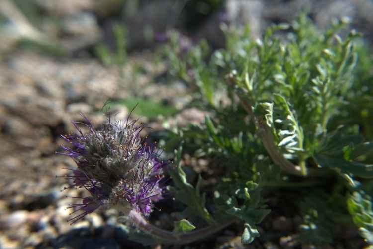 purple fringe 3