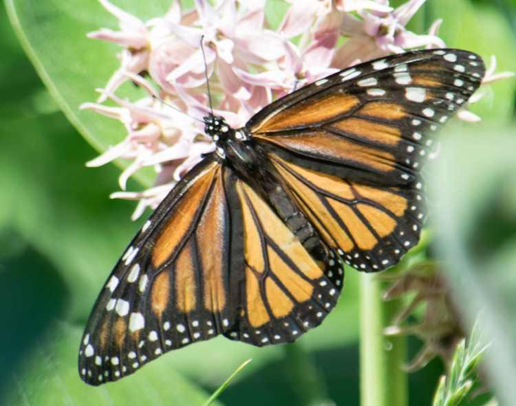 monarch on milkweed (9)-1