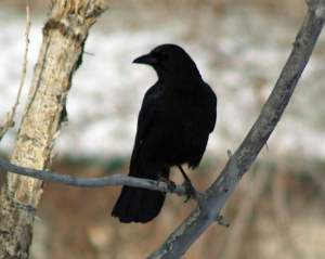 """This crow made to most un-crow-like """"B'Dong! B'Dong!"""" call. Some people felt it sounded more like """"Hello! Hello!"""
