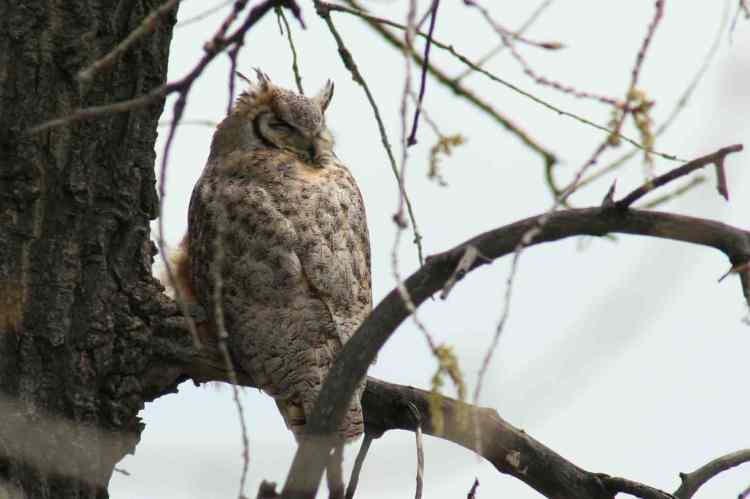 Broomfield CO owl