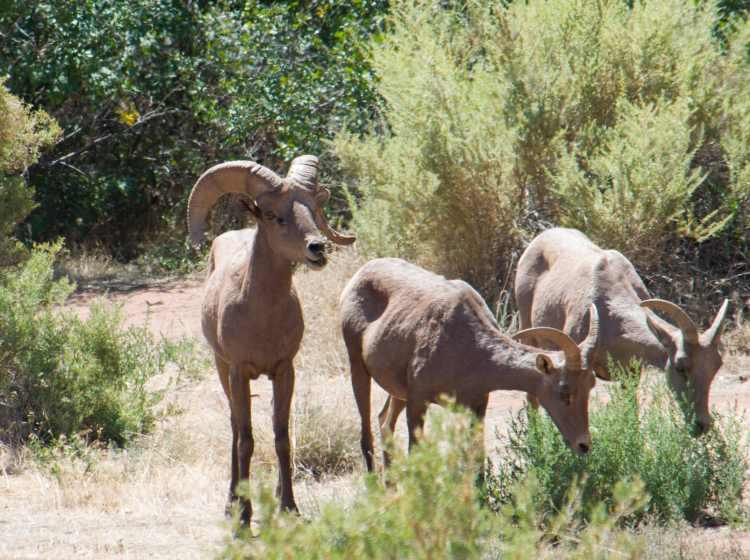 bighorn sheep-47