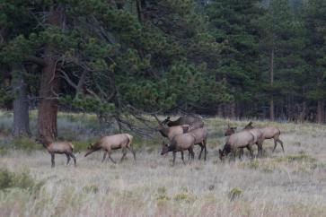 Harem of cow elk.