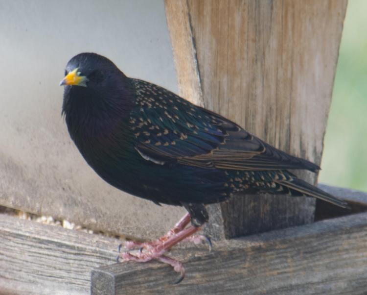 spectacular starling-4_edited-1