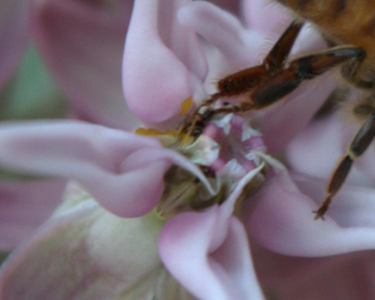Bee caught in milkweed