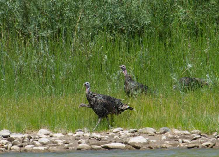 Wild Turkeys-04